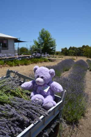 Lou Lou Bear helping with harvest
