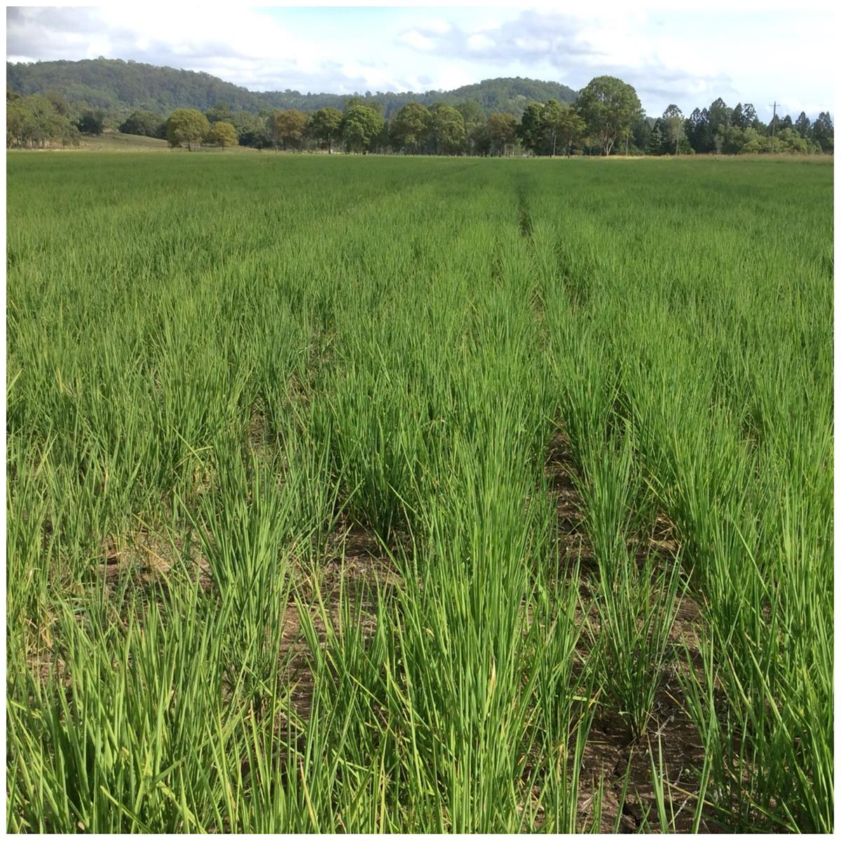 Dryland rice relies only on natural rainfall. It is not irrigated.