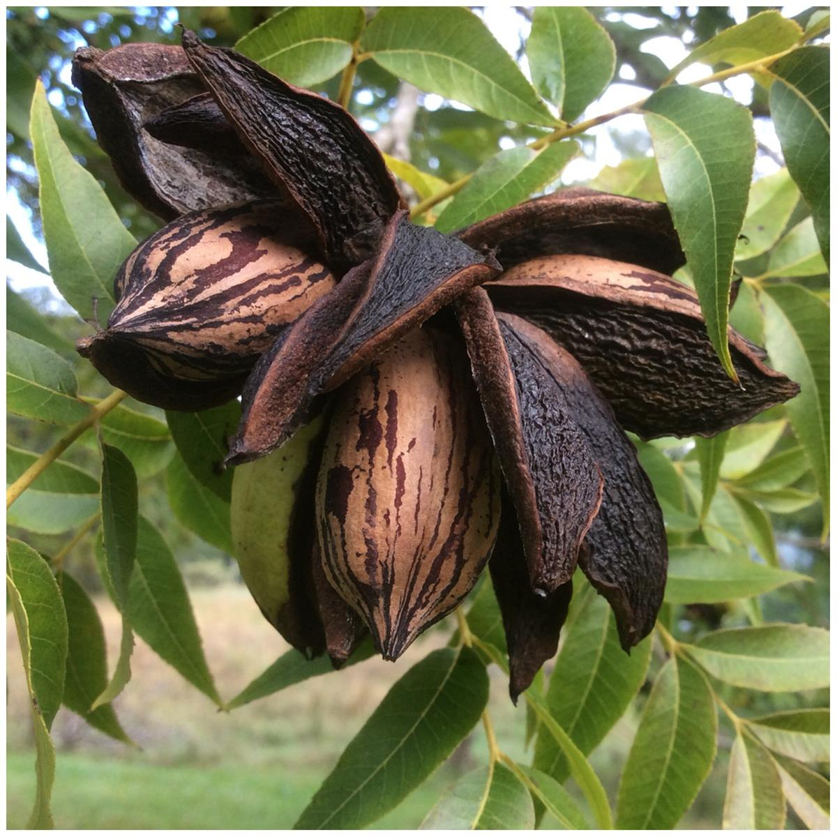 Shucks open and pecans are ready for harvest